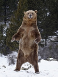 Grizzly Bear (Ursus Arctos Horribilis) Standing in the Snow, Near Bozeman, Montana, USA Photographic Print by James Hager