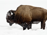 Bison in Snow, Yellowstone National Park, Wyoming Photographic Print