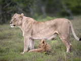 Lioness With Cub (Panthera Leo) Kwandwe Private Reserve, Eastern Cape, South Africa, Africa Photographic Print by Ann & Steve Toon