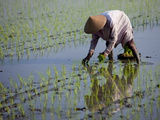 Farmer Planting Rice, Kerobokan, Bali, Indonesia, Southeast Asia, Asia Photographic Print by Thorsten Milse