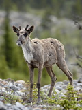 Woodland Caribou (Rangifer Caribou) Calf, Stone Mountain Provincial Park, British Columbia, Canada Photographic Print by James Hager