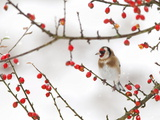 Goldfinch (Carduelis Carduelis) in Winter, Northumberland, England, Uk Photographic Print by Ann & Steve Toon