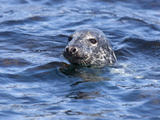 Grey Seal (Halichoerus Grypus), Farne Islands, Seahouses, Northumberland, England, Uk Photographic Print by Ann & Steve Toon