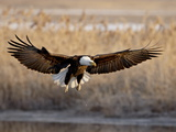 Bald Eagle (Haliaeetus Leucocephalus) in Flight on Final Approach, Farmington Bay, Utah, USA Photographie par James Hager