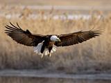 Bald Eagle (Haliaeetus Leucocephalus) in Flight on Final Approach, Farmington Bay, Utah, USA Photographic Print by James Hager