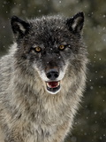 Captive Gray Wolf (Canis Lupus) in the Snow, Near Bozeman, Montana, USA Lámina fotográfica