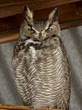 Great Horned Owl (Bubo Virginianus), Whitewater Draw Wildlife Area, Arizona Photographic Print by James Hager