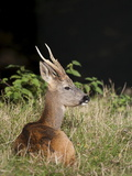 Roe Buck, Uk Photographic Print by Ann & Steve Toon