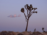 Joshua Tree at Dusk, Joshua Tree National Park, California, United States of America, North America Photographie par James Hager