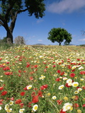 Spring Flowers, Majorca, Balearic Islands, Spain, Europe Photographic Print by John Miller