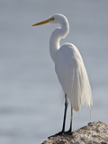 Great Egret in Breeding Plumage, Sonny Bono Salton Sea National Wildlife Refuge, California Photographic Print