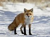 Red Fox (Vulpes Vulpes Or Vulpes Fulva) in the Snow, Prospect Park, Wheatridge, Colorado Photographic Print