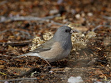 Pink-Sided Junco (Junco Hyemalis Mearnsi), Abiquiu Lake, New Mexico Photographic Print