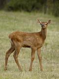Elk (Cervus Canadensis) Calf, Jasper National Park, Alberta, Canada, North America Photographic Print