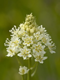 Death Camas (Zigadenus Venenosus), Near Nanaimo, British Columbia, Canada, North America Photographic Print