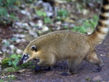 A Small Acouti in the Iguassu National Park, Brazil, South America Photographic Print by Olivier Goujon