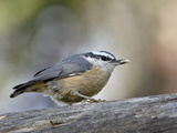 Female Red-Breasted Nuthatch (Sitta Canadensis), Wasilla, Alaska, USA Reproduction photographique