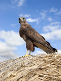 Buzzard (Buteo Buteo), in Captivity, Cumbria, England, Uk Photographic Print by Ann & Steve Toon