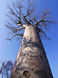 Baobab Tree From Below, Avenue De Baobabs, Madagascar, Africa Photographic Print