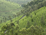 Tea Gardens in Devikulam, Kerala, India, Asia Photographic Print