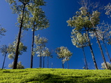 Tea Gardens in Devikulam, Munnar, Kerala, India, Asia Photographic Print