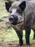 Wild Boar (Sus Scrofa), Kent, England, United Kingdom, Europe Photographic Print by Alex Hibbert