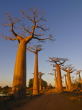 Avenue De Baobabs at Sunset, Madagascar, Africa Photographic Print