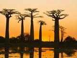 Avenue De Baobabs at Sunset, Madagascar, Africa Fotografisk tryk
