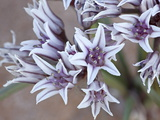 Prairie Wild Onion (Allium Textile), Goblin Valley State Park, Utah, USA Photographic Print by James Hager