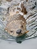 River Otter (Lutra Canadensis) Swimming, Near Victoria, British Columbia, Canada, North America Photographic Print