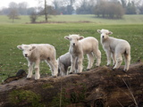 Lambs Playing on a Log in Stourhead Parkland, South Somerset, Somerset, England, United Kingdom Fotoprint