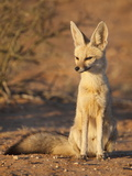 Cape Fox (Vulpes Chama), Kgalagadi Transfrontier Park, Northern Cape, South Africa, Africa Photographic Print by Ann & Steve Toon
