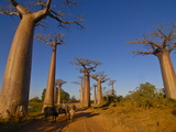 Ox Cart at the Avenue De Baobabs at Sunrise, Madagascar, Africa Photographic Print