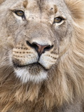 Male Lion (Panthera Leo), Addo National Park, Eastern Cape, South Africa, Africa Fotodruck von Ann & Steve Toon