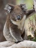 Koala (Phascolarctos Cinereus) in a Eucalyptus Tree, Yanchep National Park, West Australia Photographic Print