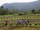 Ploughing An Agricultural Field, Marayoor, Kerala, India, Asia Photographic Print