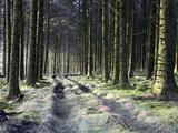 Forestry Commission Plantation, Sousons, Dartmoor, Devon, England, United Kingdom, Europe Photographic Print by David Lomax