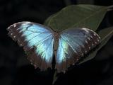 Blue Morpho Butterfly (Morpho Peleide) Photographic Print by Raj Kamal