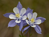 Blue Columbine (Aquilegia Coerulea), Weston Pass, Pike and San Isabel National Forest, Colorado Photographic Print