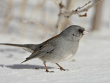 Slate-Colored Junco, a Dark-Eyed Junco, Roxborough State Park, Colorado Photographie