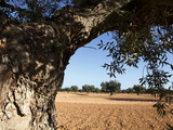 Olive Groves, Gabes, Tunisia, North Africa, Africa Photographic Print by Dallas & John Heaton