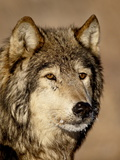 Gray Wolf (Canis Lupus) in Captivity, Near Bozeman, Montana, USA Photographic Print