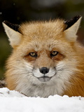 Captive Red Fox (Vulpes Vulpes) in the Snow, Near Bozeman, Montana, USA Photographic Print