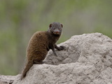 Young Dwarf Mongoose (Helogale Parvula), Kruger National Park, South Africa, Africa Photographic Print