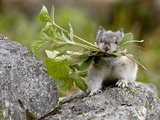 Collared Pika (Ochotona Collaris) Taking Food to a Cache, Hatcher Pass, Alaska Photographic Print
