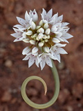 Prairie Wild Onion (Allium Textile), Canyon Country, Utah, United States of America, North America Photographic Print