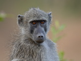 Chacma Baboon (Papio Ursinus), Kruger National Park, South Africa, Africa Photographic Print