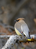 Cedar Waxwing (Bombycilla Cedrorum), Banff National Park, Alberta, Canada, North America Photographic Print