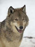 Gray Wolf (Canis Lupus) in Snow in Captivity, Near Bozeman, Montana Lámina fotográfica