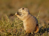 Blacktail Prairie Dog (Cynomys Ludovicianus) Eating, Wind Cave National Park, South Dakota, USA Photographic Print
